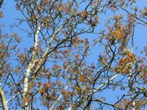 Walnut tree