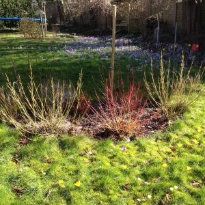 Cornus and crocus