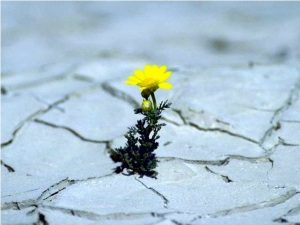 Flower in cracked earth